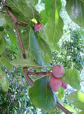 Terminalia catappa fruits.JPG
