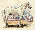 Tersk horse.jpg
