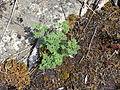 Teucrium botrys leaves.jpg
