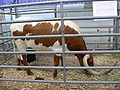 Texas State Fair cattle Longhorn.jpg