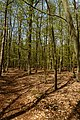 Texel - De Dennen - Budding Beeches - View North I.jpg