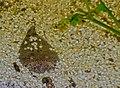 Thalassophryne amazonica - Peru-Krötenfisch (3).jpg