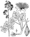 Thalictrum venulosum BB-1913.png