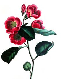 Colour drawing of a flowering, red Japan Pear