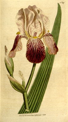 The Botanical Magazine, Plate 187 (Volume 6, 1793).png