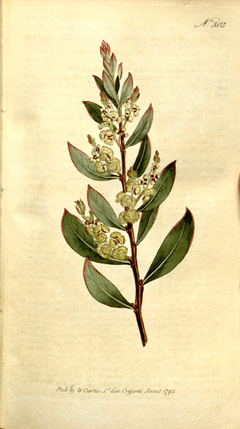 The Botanical Magazine, Plate 302 (Volume 9, 1795).png