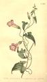 The Botanical Magazine, Plate 460 (Volume 13, 1799).png