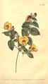 The Botanical Magazine, Plate 469 (Volume 14, 1800).png
