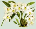 The Orchid Album-01-0143-0047-Odontoglossum alexandrae-crop.png