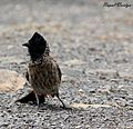 The Red-vented Bulbul (Pycnonotus cafer).jpg
