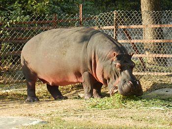 The Single Hippo.jpg