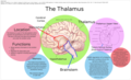 The Thalamus.png
