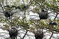 The nests in detail with young Herons that are feeded and try to fly at Sonsbeek Park Arnhem. See the preceeding image for an overview - panoramio.jpg