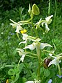 The snail and the Butterfly Orchid - geograph.org.uk - 829324.jpg