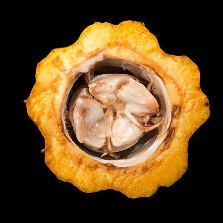 Theobroma cacao (cacau) open fruit.jpg