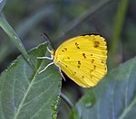 Three-spot Grass yellow (Eurema blanda) in Kolkata Iws IMG 0318.jpg