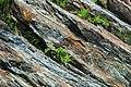 Thunderhead Sandstone (Neoproterozoic; Clingmans Dome, Great Smoky Mountains, North Carolina, USA) 3 (36827231216).jpg