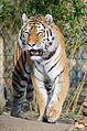 Tiger (16525661806).jpg