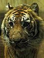 Tiger indoor (4138694805) (2).jpg