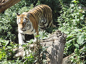Antwerp Zoo - Siberian tiger at Antwerp Zoo