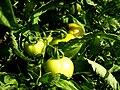 Tomatoes 1400x1050.jpg