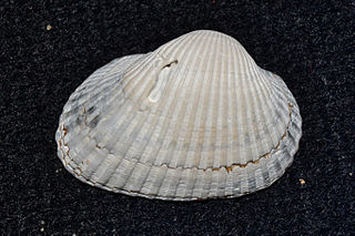 <i>Anadara transversa</i> species of mollusc