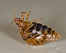 A female bed bug is held upside-down by a male bed bug, as he traumatically inseminates her abdomen.