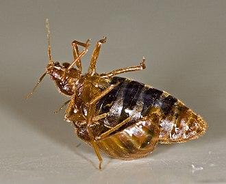 Cimex - Male bed bug traumatically inseminating a female