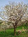 Trešnja lyonska u cvatu.jpg
