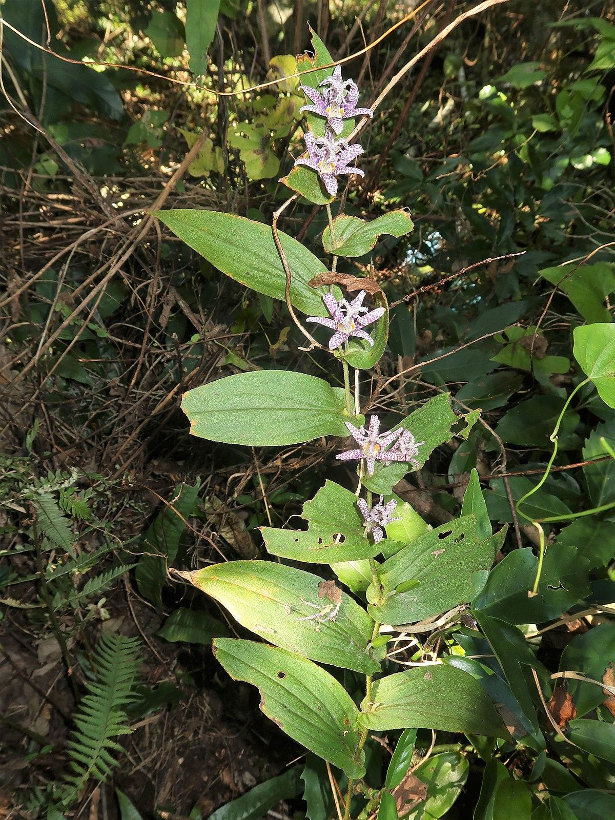 ホトトギス (植物) - Wikipedia