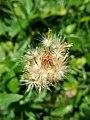 Tridax procumbens, Seeds 01.jpg