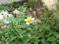 Tridax procumbens (Flower).JPG