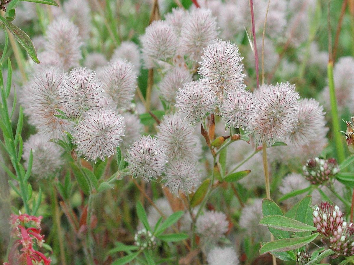 Trifolium Arvense Wikipedia
