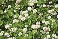 Trifolium repens-3396.jpg