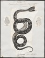 Trigonocephalus jararaca - 1700-1880 - Print - Iconographia Zoologica - Special Collections University of Amsterdam - UBA01 IZ11700069.tif