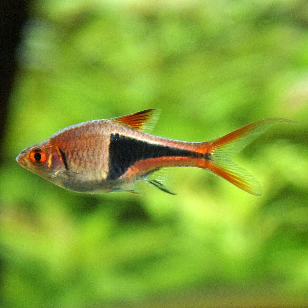 Trigonostigma heteromorpha wikipedia for Aquarium a poisson