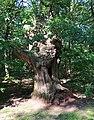 Trogne de châtaignier, forêt domaniale de Bois-d'Arcy, Yvelines 1.jpg