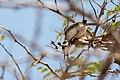 Tropical Gnatcatcher Chirito de Chaparrales (Polioptila plumbea plumbiceps) (23685058565).jpg