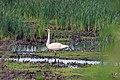 Trumpeter Swan (35962713202).jpg