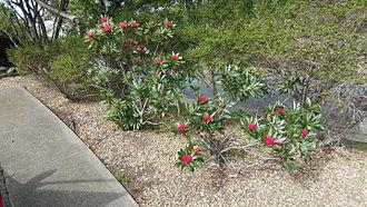 Telopea truncata - Two plants in cultivation in a Hobart car park