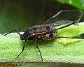 Tuberloachnus salignus alate c2011-09-03 17-12-32ew.jpg