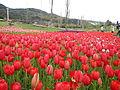 Tulip (10).JPG