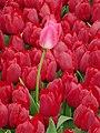 Tulip 1300199.jpg