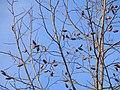 Tulpenbaum 01 TP12103.jpg