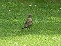 Turdus philomelos Villa Margone 03.jpg