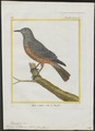 Turdus solitarius - 1700-1880 - Print - Iconographia Zoologica - Special Collections University of Amsterdam - UBA01 IZ16300311.tif