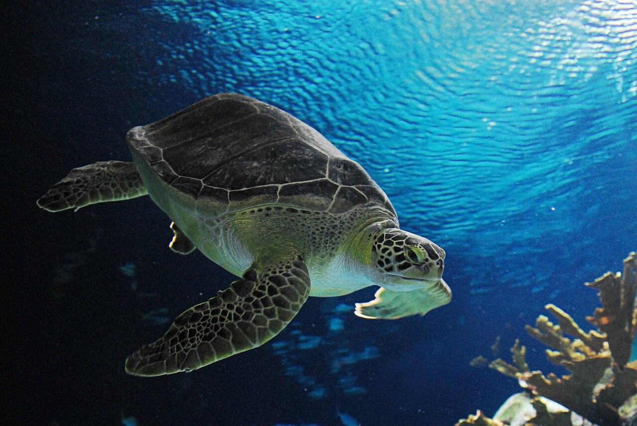 File:Turtle in Omaha Henry Doorly Zoo.jpg - Wikimedia Commons