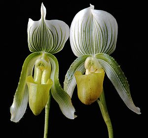 Two orchids of the Paphiopedilum family (Callo...