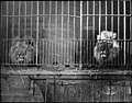 Two caged lions (6211107266).jpg