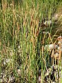 Typha domingensis 3.jpg